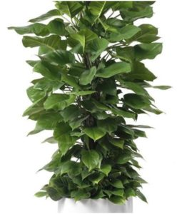 """Milano Cylinder Small White (D18"""" H20"""") - Jade Pothos Totem 14"""""""