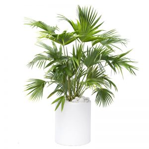 Milano Cylinder Small White Chinese Fan Palm