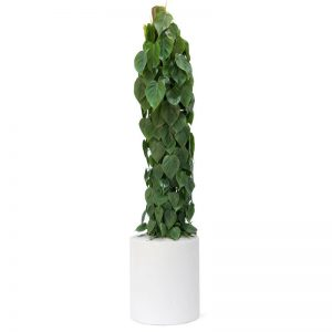Milano Cylinder Small White Philodendron Cordatum