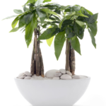 Chinese Money plants: a Care Guide